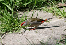 Firetail Finch