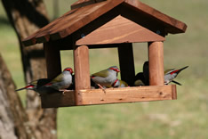 Firetail Finches