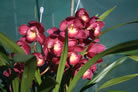 Valley Olympic 'Pink Perfection' (mutation)